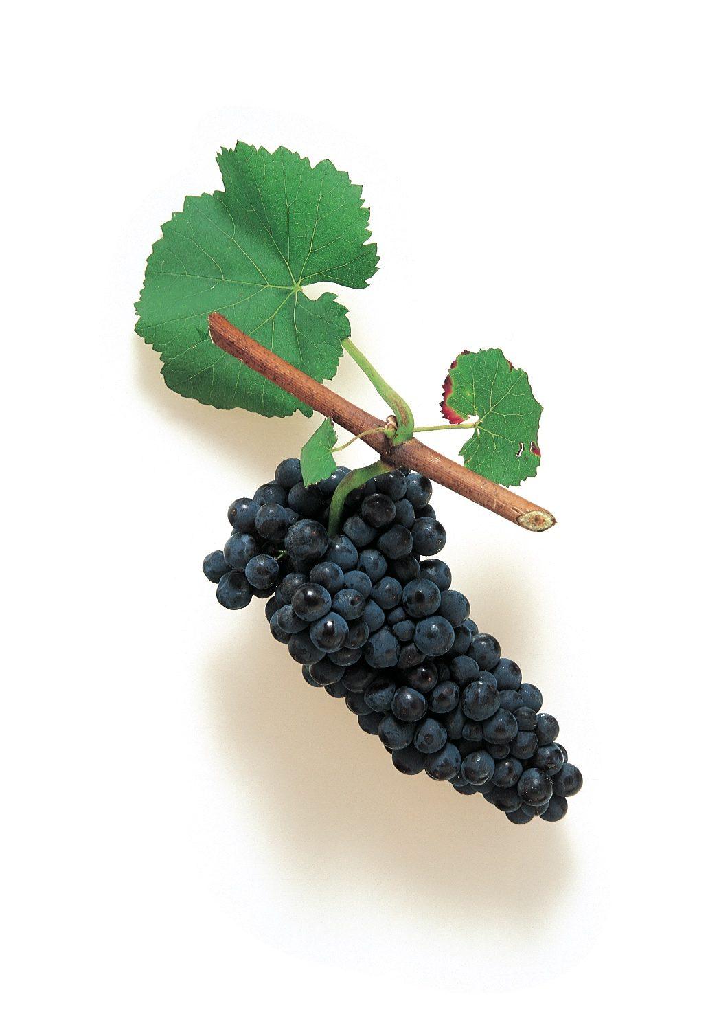 Spätburgunder Traube (Pinot Noir)